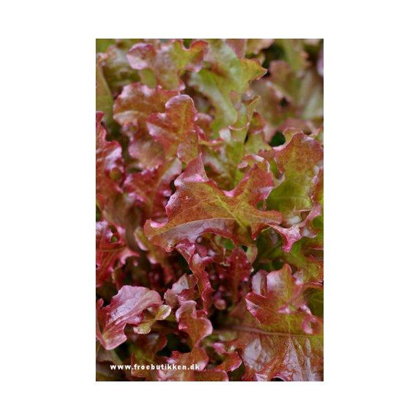 Salat. Red Salad Bowl. Økologisk. Frø.