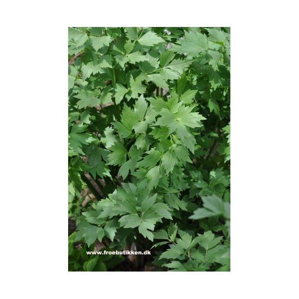 Løvstikke. Levisticum officinalis. Frø.