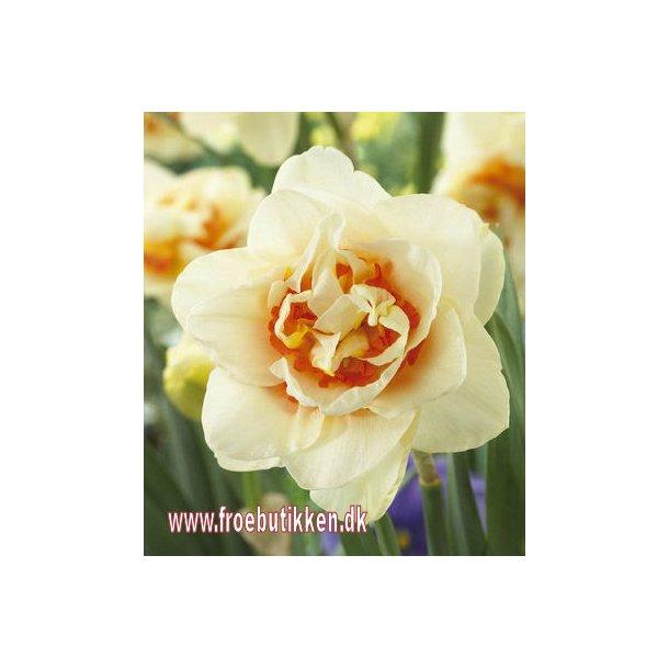 Narcis. Dobbelt. Flower parade. Løg