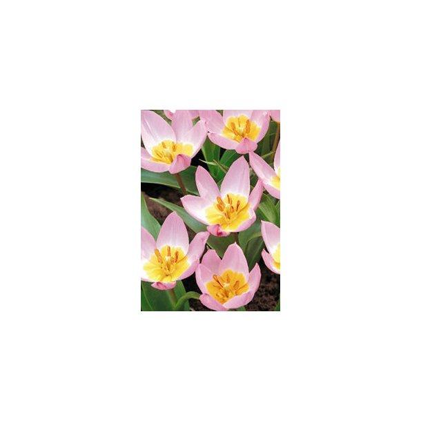 Tulipan. Lilac wonder. Løg.