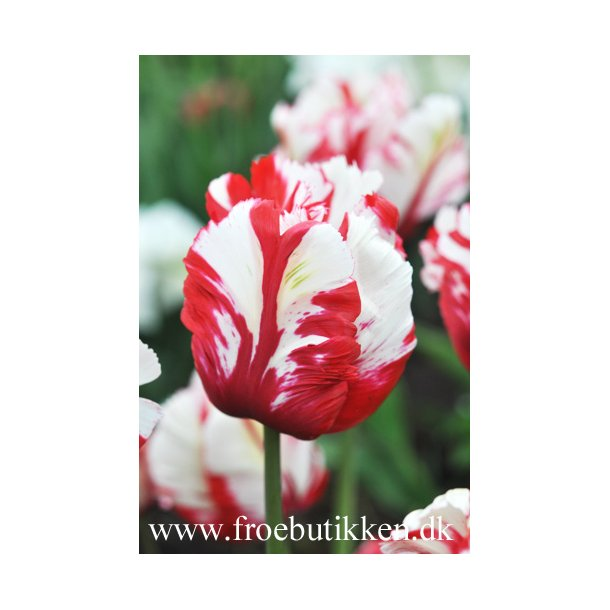 Tulipan. Estella Rijnveld. Løg.