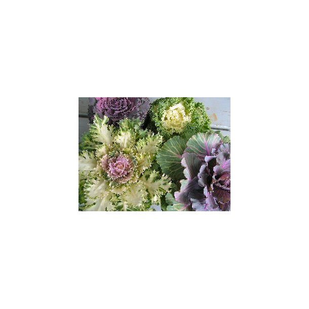 Pyntekål, Brassica oleracea, mix. Frø.