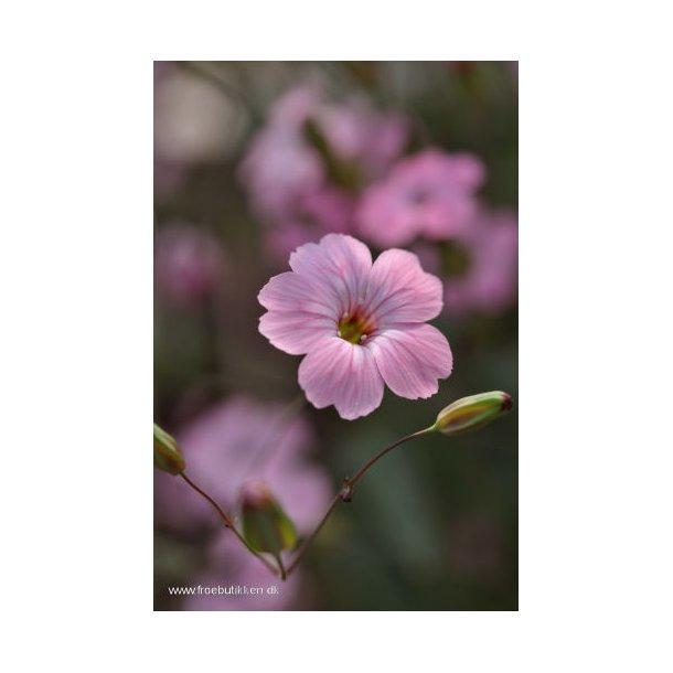 Sæbeurt. Saponaria vaccaria. Pink beauty. Frø.