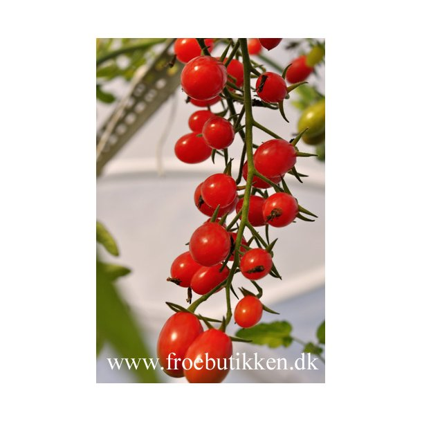 Tomat. Cherry Roma. Frø.