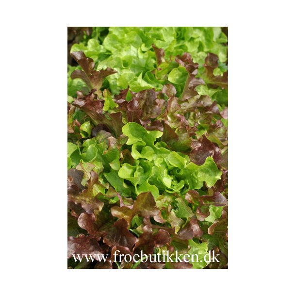 Salat. Salad Bowl mix. Økologisk frøbånd. Frø. .