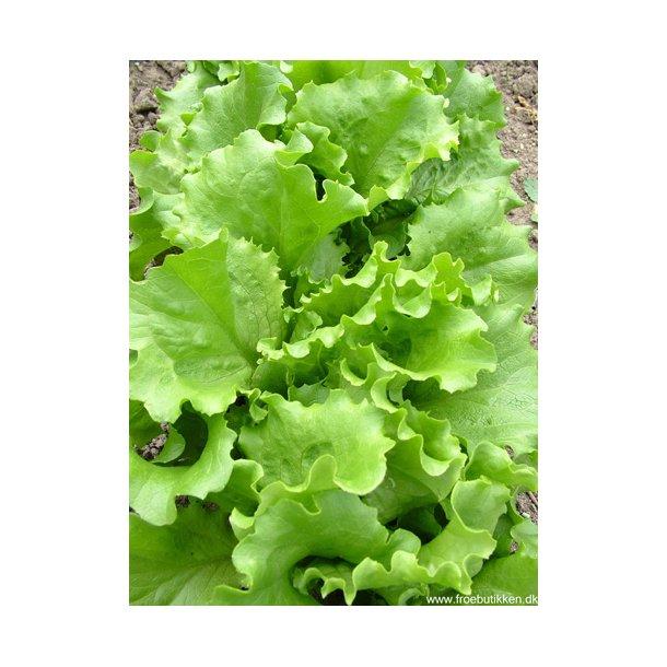 Salat. Webbs wonderful. ID1693-4831.  Frø.