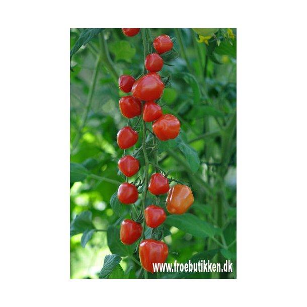 Tomat. Gardenberry. Frø