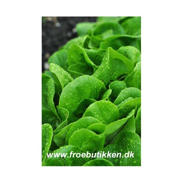 Salat. Tom Thumb. ID1456-6223. Frø.