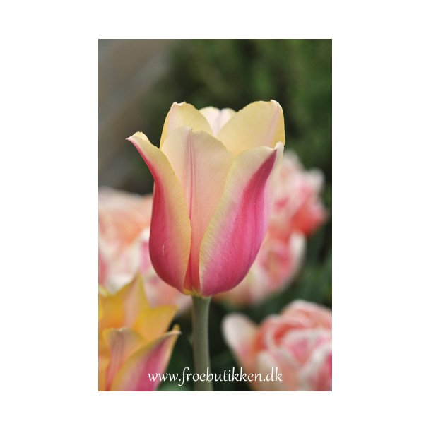 Tulipan. Dordogne. Løg