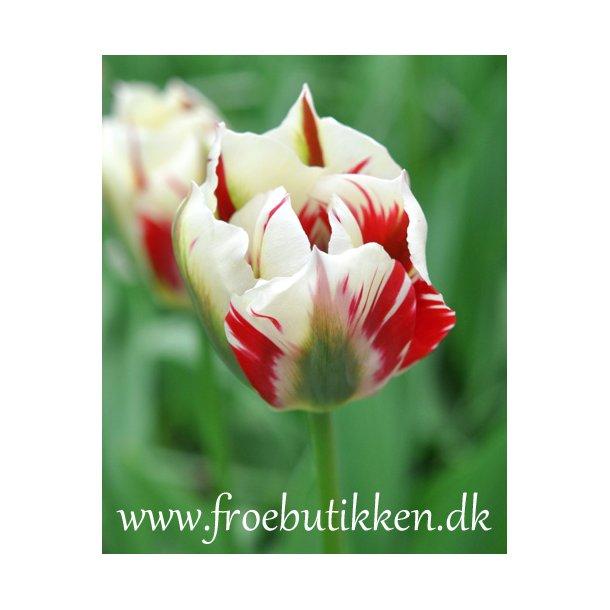 Tulipan. Flaming springgreen. Løg.