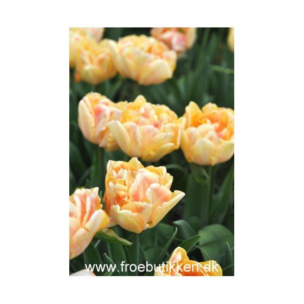 Tulipan. Foxy Foxtrot. Løg