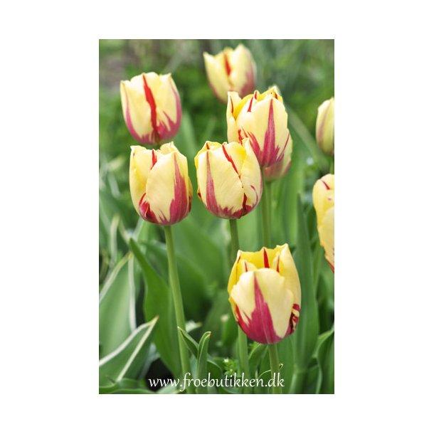 Tulipan. Grand Perfection. Løg.