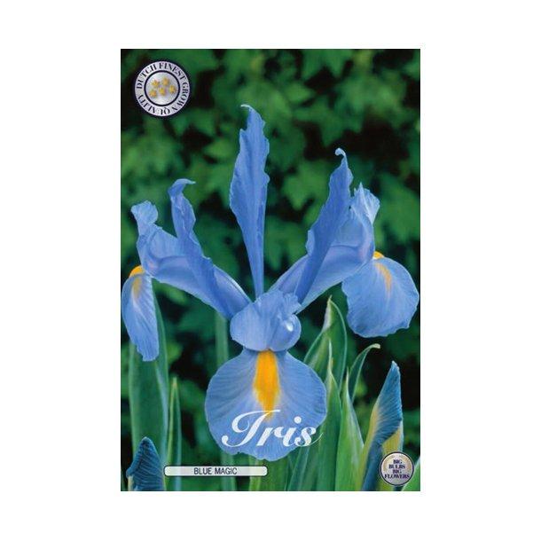 Iris hollandica. Blue magic. Knold