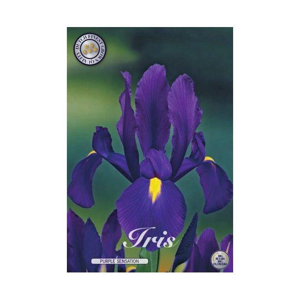 Iris hollandica. Purple sensation. Knold