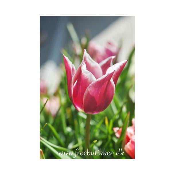 Tulipan. Lilac time. Løg.