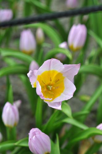 Botaniske tulipaner. Rosa.