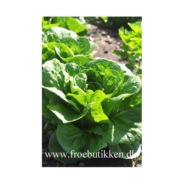 Salat. Lobjoits green cos. ID1638-5935. Frø.