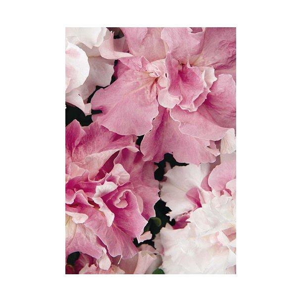 Petunia. Cascade Orchid Mist. F1. ID1812-1801. Frø