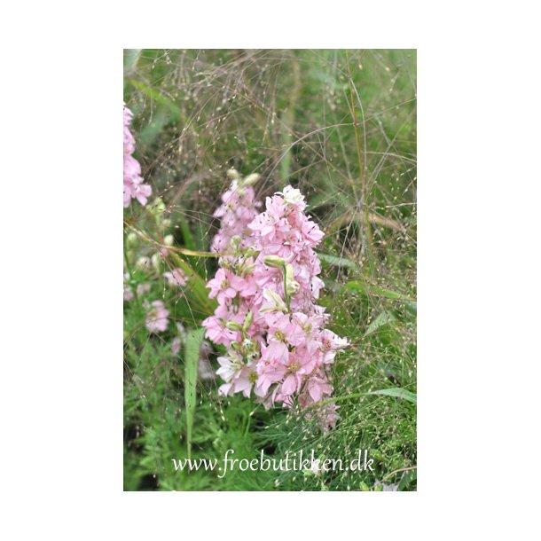 Ridderspore. Limelight. Light pink. ID1749-5700. Frø