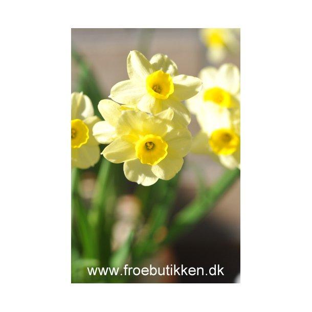 Narcis. Minnow. Løg