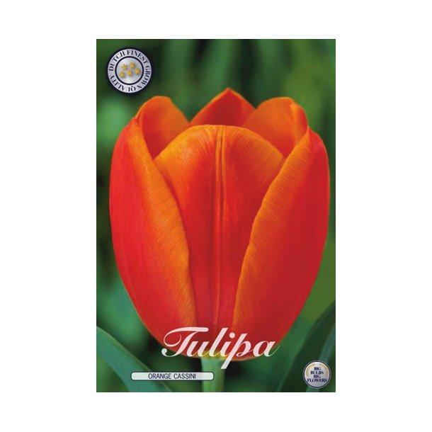 Tulipan. Orange Cassini. Løg.