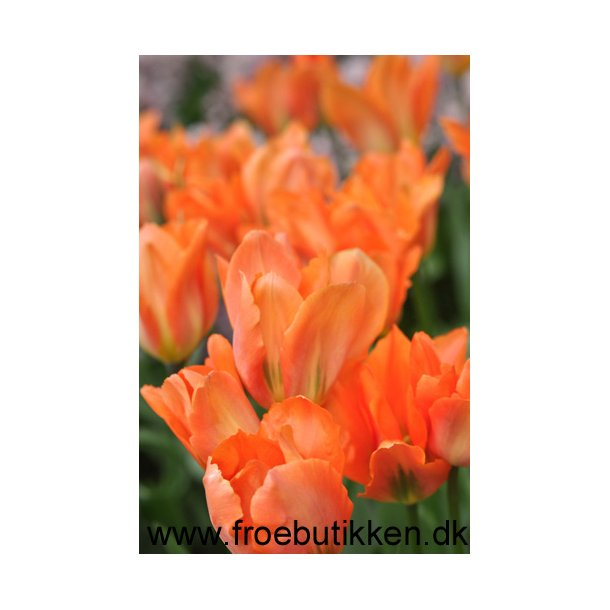 Tulipan. Orange emperor Løg.