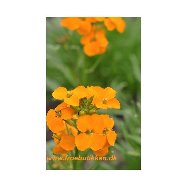 Gyldenlak. Siberian orange. ID1601-2680. Frø.