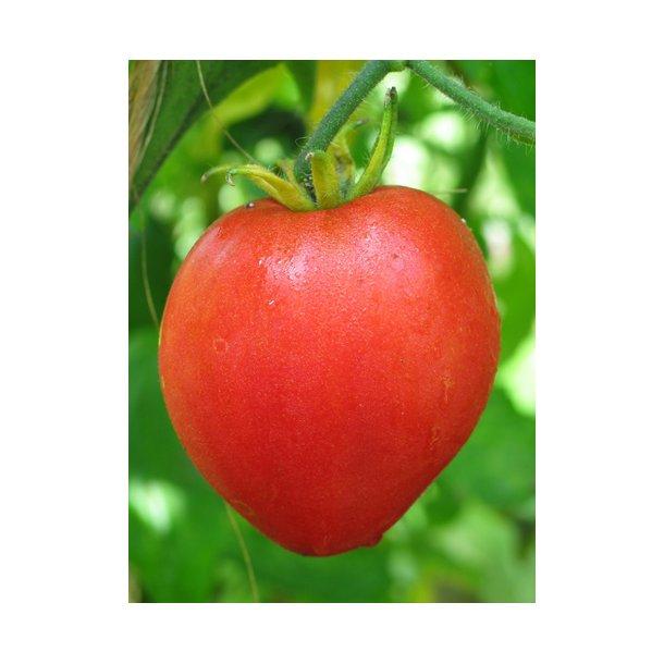 Tomat Oxheart giant. ID1517-9495. Frø.