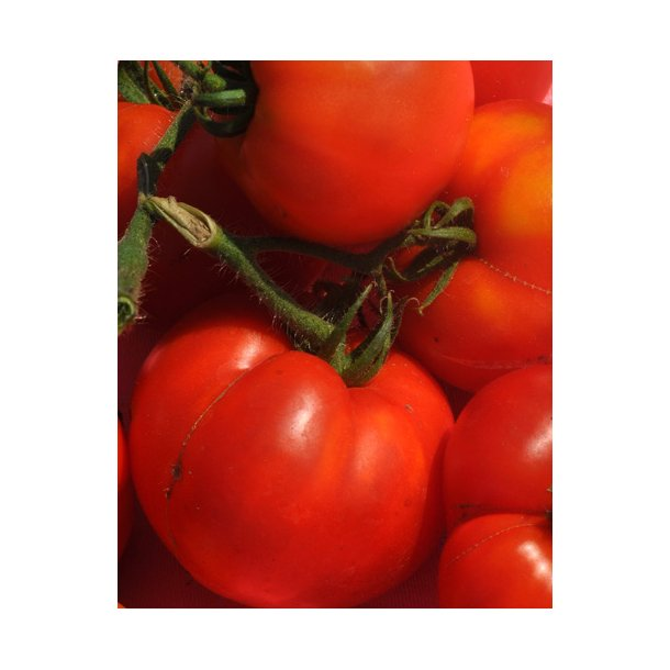 Tomat. Pantano ID1770-8902. Frø.