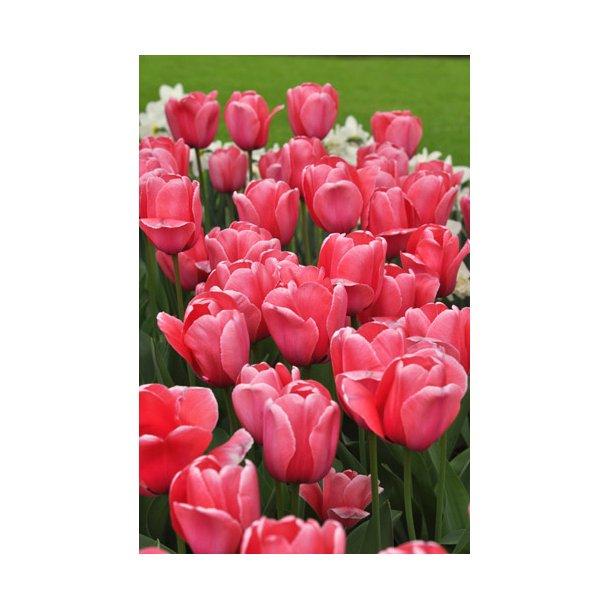Tulipan. Pink impression. Løg.