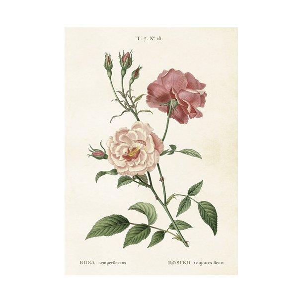 Plakat. Roser. Lyserøde