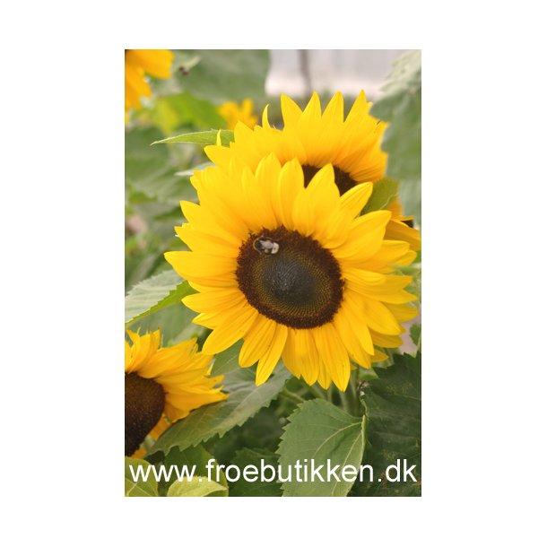Solsikke. Little Dorrit. F1. ID1747-37041. Frø