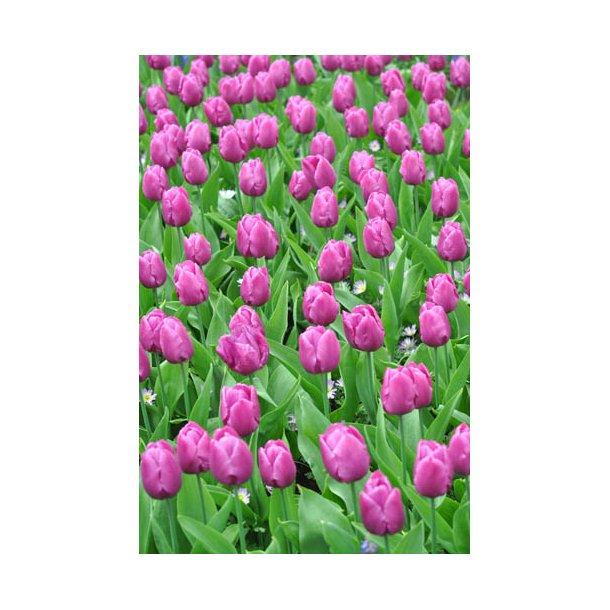 Tulipan. Purple prince. Løg.