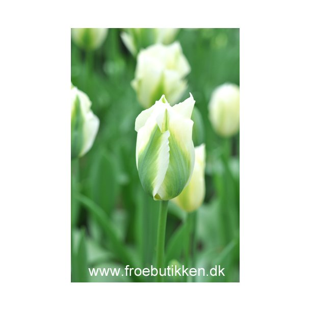 Tulipan. White Spring Green. Løg.