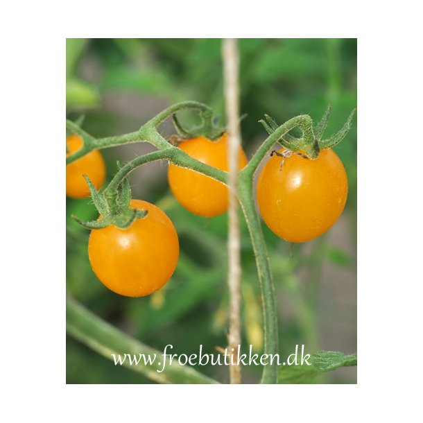 Tomat Mini Goliath. ID1770-3333. Frø.