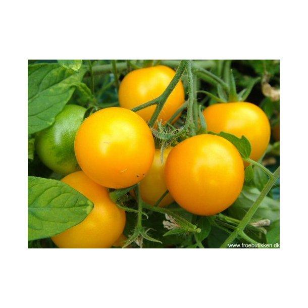 Gule Tomater i krukke. Tumbling Tom. Frø. 7f81ad6a04fcf