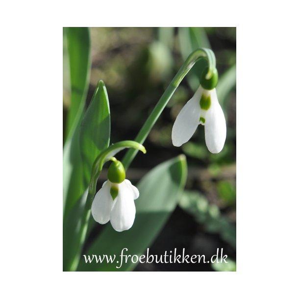Vintergæk. Galanthus elwesii. Løg