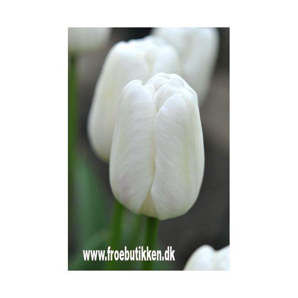 Tulipan. White dream. Løg.